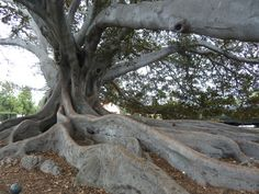 This huge fig tree was a land mark in SB.  And a hang-out for every transient who came through.