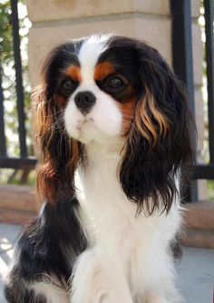 King Charles Cavalier - what a Beauty!