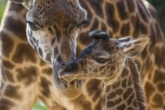 Harriet a Masai giraffe, takes care of her baby at the zoo in San Diego, born four days ago. June 20, 2014,