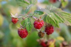Growing Raspberries: the Edible Fence Raspberries as a Fence. Raspberry Plants, Red Raspberry, Growing Raspberries, Strawberries, Forest Garden, Forest Plants, Edible Garden, Edible Plants, My Secret Garden