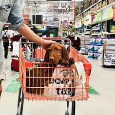 Tepache 🐶🏝at Supermarket . . . . . . . . #vizlsa #wirehairedvizsla #instadogs #instagramdogs #doglovers #dogs #doğa #doggy #puppy