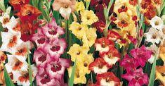 Varifrån kommer gladiolus? Behöver gladiolus förkultiveras? Hur får man bort ohyra från gladiolus? Hur förökar man gladiolus? Kan gladiolus övervintra?
