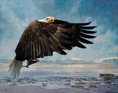 Fishing Eagle by Melinda Moore. National Bird and National Animal of the US, the Bald Eagle was thankfully removed from the list of Endangered and Threatened Wildlife 2007. Moore captured this American Bald Eagle in flight just after he grabbed the fish from the sea. He was against a clear blue sky. The artist wanted to create a set of images with the feeling of the beach and sea. This is a composite of multiple image plus many layers of scanned textures creating the final vision. Captured…