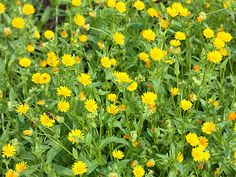 Calendula arvensis (Field Marigold) is an annual or biennial herb up to 20 inches (50 cm) tall. The leaves are lance-shaped and borne on...