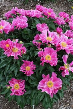 Easy care flower carpet pink supreme shrub supreme and flower paeonia foxtrot mightylinksfo