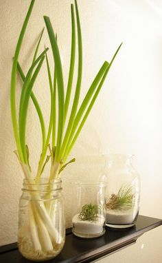 Keep your green onions growing indefinitely by placing them into a container of water. Snip off as needed, and they keep on growing back!