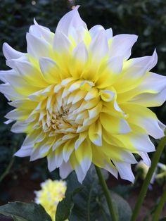 Dahlias, Om, Plants, Dahlia, Dahlia Flower, Plant, Planets