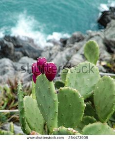 opuntia ficus on  a rock in liguria - stock photo