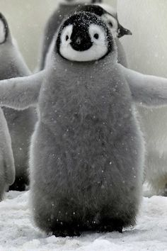 a fluffy baby penguin
