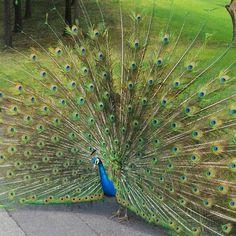 내가 관심을 가지자 날개를 쫙편 공작새. 그래 .. 너 이뻐. 최고야!!