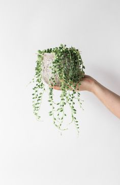 String of Pearls – The Fresh Flower Company