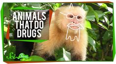 Animals That Do Drugs Turns out humans aren't the only animals that can medicate themselves - many other animals have found ways to deal with illness by using natural remedies. Hank will tell you about some of the most interesting methods animals have found to heal themselves, and maybe get a little crazy in the process.