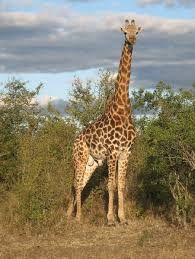 Giraffe are a large feature in Mkhaya! Game Reserve, Under The Stars, Giraffe, Beautiful Places, Camping, Stone, Pictures, Animals, Campsite