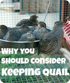 Benefits of keeping quail