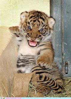 Three baby Sumatran tigers were born at the Los Angeles Zoo Aug. 5 to experienced mother Lulu. The species is classified as endangered, so Lulu's latest litter marks a big step toward the conservation of the species.