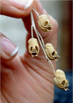 snapdragon flower dried - look like skulls!