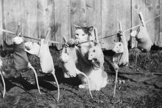 vintage pictures of people | September 1933: A cat hangs a row of tame rats on the washing line to ...
