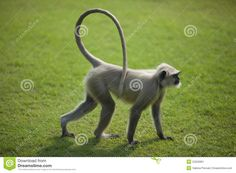 indian langur tail - Google Search