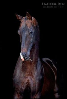 Akhal Teke Акнур (Aknur) Looking like the noble warrior he is. Most Beautiful Horses, Pretty Horses, Horse Love, Animals Beautiful, Zebras, Different Horse Breeds, Akhal Teke Horses, Horse Ears, Horse Portrait