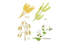 Cereals icon set with rye rice wheat Wheat Rice, Buckwheat, Rye, Icon Set, Agriculture, Body Art, Cereal, Infographic, Grains