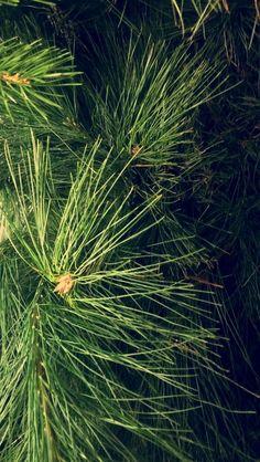 Silke furu - Pinus