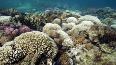 Science chief warns on acid oceans Roger Harrabin By Roger Harrabin BBC environment analyst  Corals