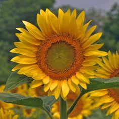Sunflower 'Sunshine'