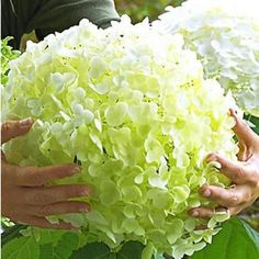 "Gartentipps Feldhortensie ""Incrediball®"", 1 Pflanze Make your Garden Enchanting With Outdo Garden Care, Garden Beds, Garden Plants, Incrediball Hydrangea, Shabby Chic Painting, Shabby Chic Decor, Short Plants, Paint Your House, Hydrangea Garden"