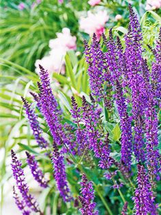 The Best Perennials for Your Yard: 1997 perennial plant of the year 'May Night' Salvia is by far one of my favorites. A true show stopper!