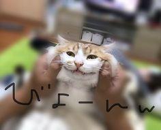 きゅんたのほっぺたは、 どこまで伸びるんだろう。。(笑) #きゅん #猫 #ねこすたぐらむ #ねこ好き #cat #ペット #にゃんすたぐらむ #ニャンコ #にゃんこ部 #ねこもふ  #ねこ部 #ねこ #愛猫 #猫好きな人と繋がりたい #ねこ日記 #ねこのいる生活 #猫のいる暮らし #ぷにぷに #猫好きさんと繋がりたい  #ねこ写真 #ねこlove  #もふもふ #ねこと暮らす #猫ばか  #ほっぺた #のびーる  #フォローお気軽に #フォロー歓迎