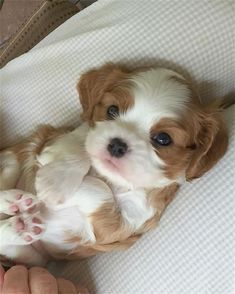 Shih Tzu Puppies: Cute Pictures And Facts Super Cute Puppies, Cute Baby Dogs, Cute Little Puppies, Super Cute Animals, Cute Dogs And Puppies, Cute Little Animals, Cute Funny Animals, Cute Babies, Doggies