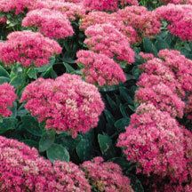 Neon Stonecrop Sedum -- This upright variety sports flat clusters of radiant rosy-magenta flowers that seem to glow in contrast with the light green foliage. A sport of Brilliant with broader flower clusters and more consistent color. Chrysanthemum, Magenta Flowers, Plant Catalogs, Flower Garden Design, Sun Perennials, Annual Plants, Neon, Flower Seeds, Sloth