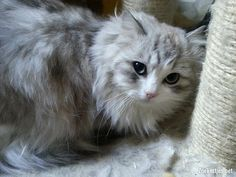 Ragamuffin kittens eind juni 2013 verwacht.... - dieren - katten