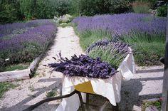Lavenda - rośliny odstraszające owady w ogrodzie