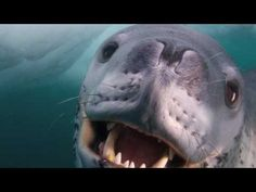 OK, leopard seals are scary, but this one tried to befriend the photographer. Amazing.