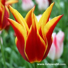This lovely and unusual tulip was put on the market in 1942 and inspired many breeders to introduce sports like Aladdins Lamp. It has narrow, graceful and reflexed scarlet petals with a narrow yellow edge.