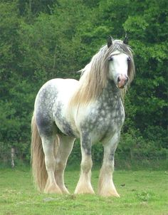 dapple grey shire stallion. ~ OH MY . . . ❗️ ❗️ ❗️ W O W W Y❗️ ❗️ ❗️ HE ALMOST LOOKS UNREAL❗️❗️❗️ WHAT A RAGING (dare I say) BEAUTY➕‼️‼️‼️➕‼️