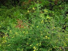 Hiker's Notebook:  Wild Indigo - click thru for better pic, more info & uses - even for the common cold