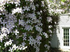 My clematis Montana 'Rubens' is in full-bloom on my deck. This plant is amazingly vigorous and needs no care at all except hacking it back occassionally when it starts to eat our dining set on the deck. This year, it's...