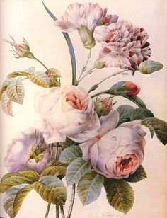 """art-and-things-of-beauty:  """" Pierre-Joseph Redouté (French, 1759-1840) - Carnations and Roses.  """""""