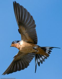 Barn Swallow In Flight by Marc Shandro, via Flickr