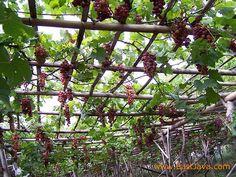 Grape Garden - Probolinggo - East Java by eastjava.com, via Flickr