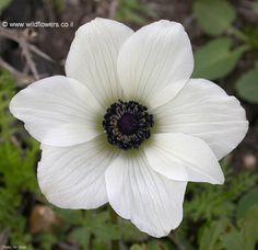 flower anemone - Google Search