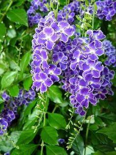 Duranta repens L / Duranta erecta L./ Sky flower / Golden dew drop / Pigeon berry / Duranta