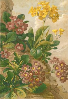 Antique original lithograph print of spring hybrid flowers. This fine chromolithograph was part of a book by eminent Austrian botanist Anton Kerner von Marilaun, published in Italy in Vintage Botanical Prints, Botanical Drawings, Antique Prints, Botanical Art, Plant Illustration, Botanical Illustration, Nature Prints, Art Prints, Painted Paper