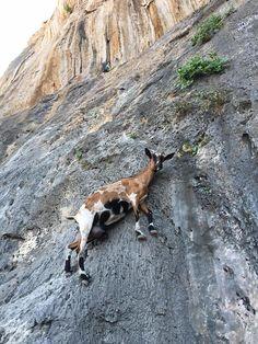 Goat in Kalymnos - Greece
