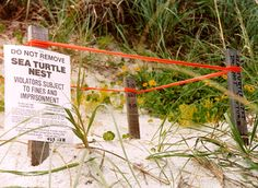 All over Hillsboro inlet and Florida a turtle nests are heavily protected.