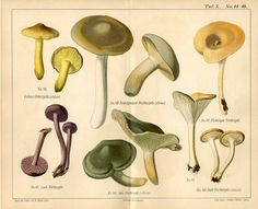 "1892 MUSHROOMS FUNGI Antique Chromolithograph Print W.Muller.  Original old German colour chromolithograph print/double page book plate.     This is an authentic antique(not a modern reproduction)beautiful print comes from a German atlas by W.Muller.     Very decorative.Looks great when framed.     Printed by Lit.Anst. v Walter Muller,Gera,Germany,1892.     The overall size of this print with margins approx 10"" x 8"" inches."