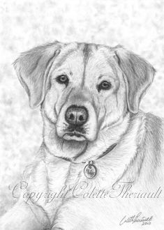 drawing labradors | Yellow Labrador Drawing