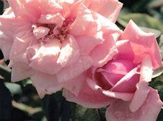 Rhodoloque Jules Gravereaux -- tea, large repeat dark pink blooms, 4-6 feet tall